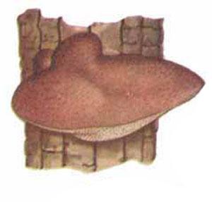 Глива, язця печінкова